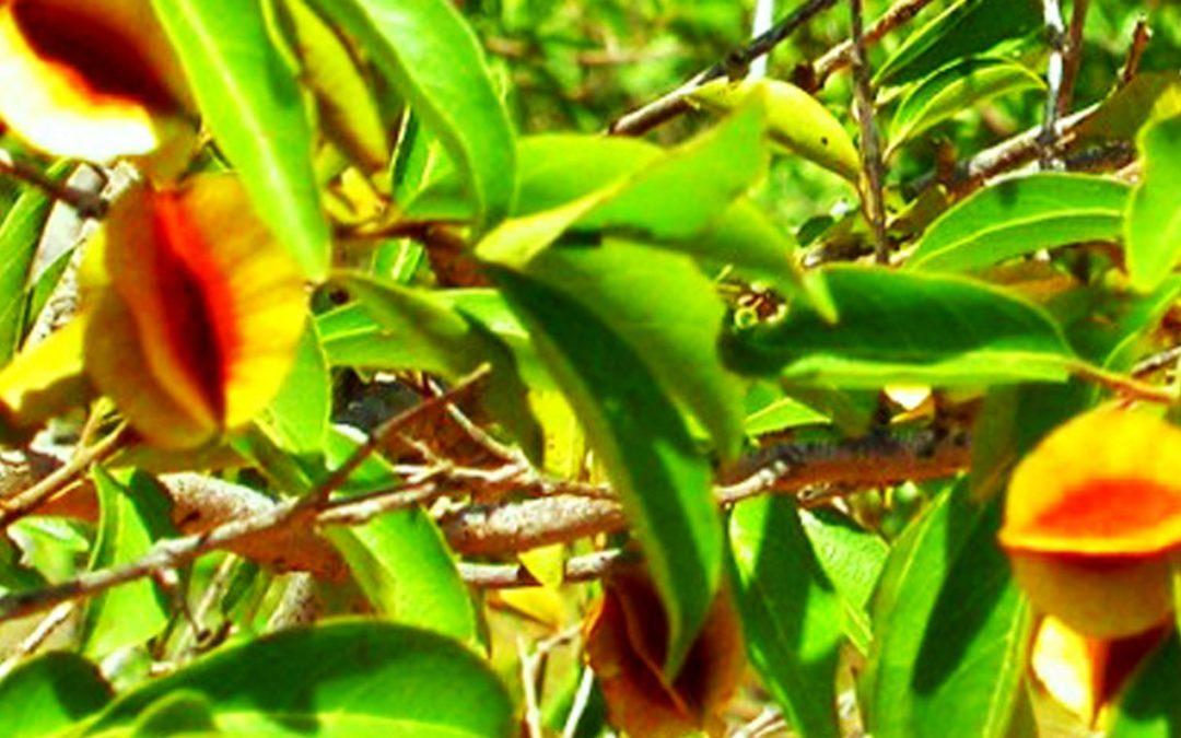 Kinkéliba : les vertus du super thé Ouest Africain pour le foie